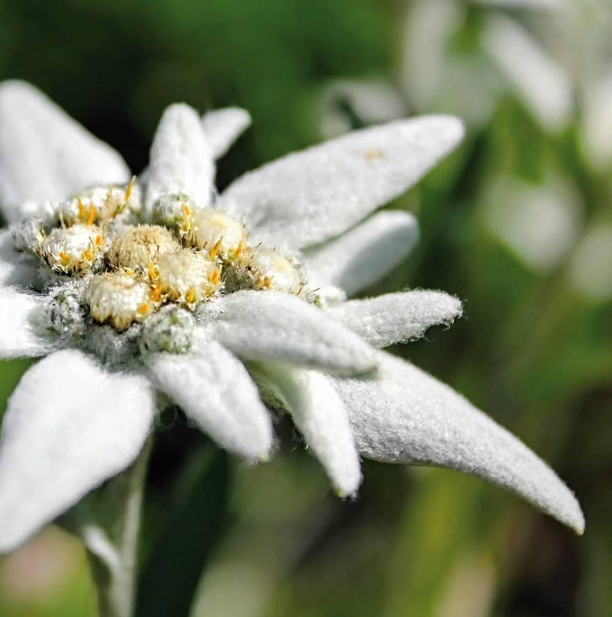 Leontopodium alpinum Edelweiss