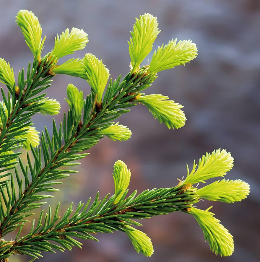 Pinus Abies Fichte